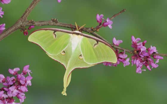 красивые, бабочки, экран, фотографий, бабочка, павлиноглазки,