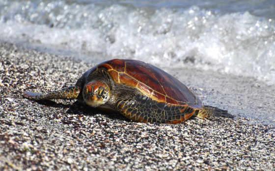 следы, черепахи, морская, черепаха, камни, фотографий, море,