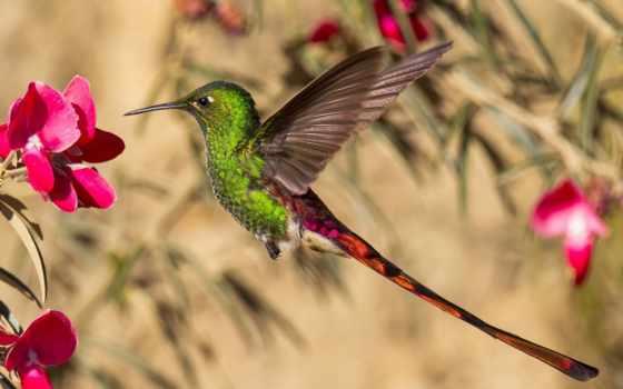 колибри, порхает, цветком, розовым, птица,