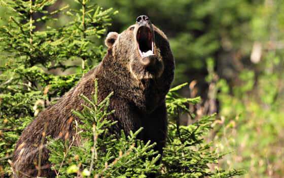 медведь, браун Фон № 51222 разрешение 1920x1080