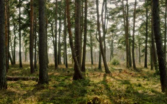 pine, лес,