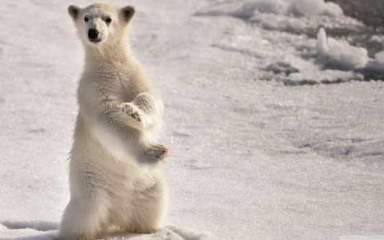 polar, медведь, oso, desktop, osos, resolution, pixels, ultimate, мужчина,