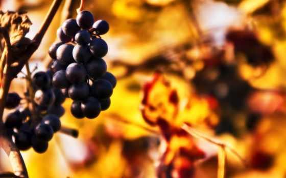 виноград, грозди, дек, осень, листва, лес,