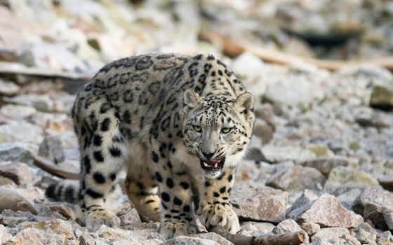 леопард, снег, ирбис, ухмылка, дикая, кот, клыки, wild, несмотря,