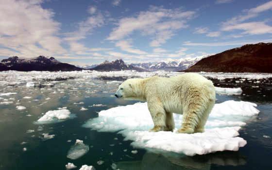 arctic, медведь, white, снег, лед, winter, зверь, иней, белые, медведи,