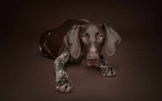 coonhound, cane, dogs, chien, собака, télécharger, fonds, ecran, cani, chiens,