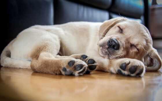 собака, small, ли, сне, reason, чихуахуа