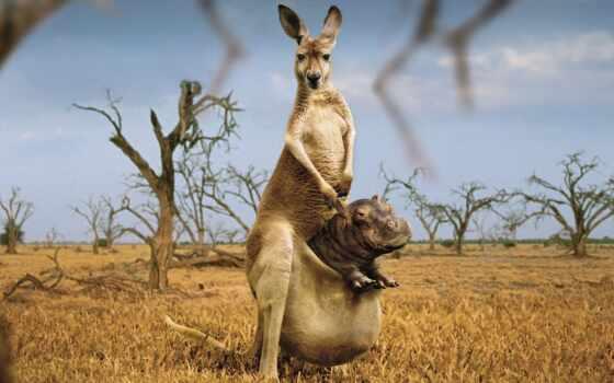 kangaroo, креатив, cool, funny, montage