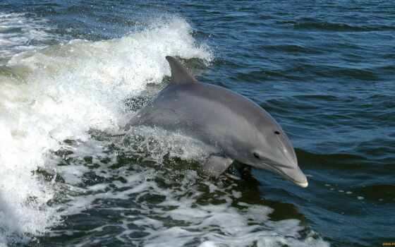bottlenose, dolphins, dolphin