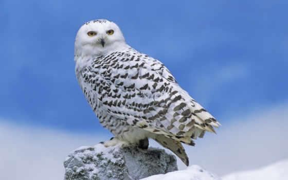 сова, полярная, птицы