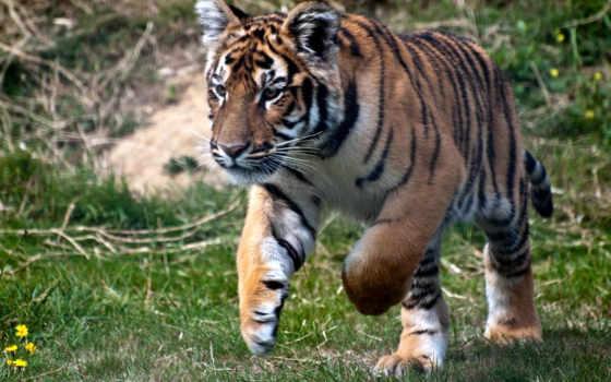 тигр, коллекция
