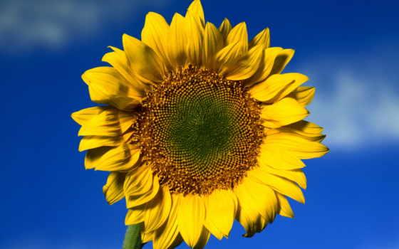 parede, papel, подсолнухи, небо, цветок, солнечный, girassol,