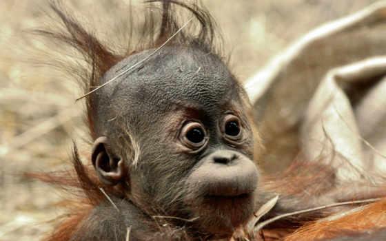 обезьяны, высокого, качества