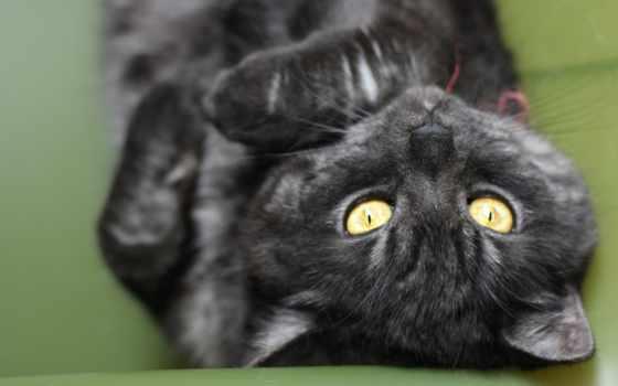 кот, striped, black, макро,