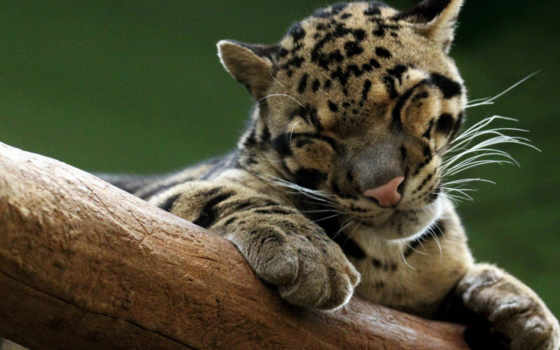 леопард, дымчатый, кот, дикая,