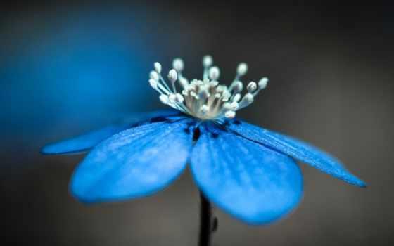 blue, hepatica, цветы, взгляд, anemone,