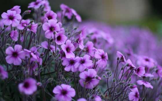 purple, красивый, cvety, color, fiolot