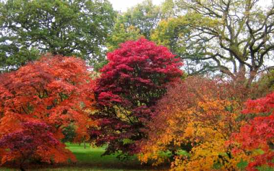 картинка, природа,, seasons, осень, maple, palmatum, листва, planta,