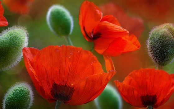 красивые, маки, цветы