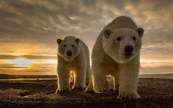 ecran, ours, fonds, les, animaux, photos, polaire, plus, fond,