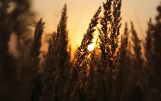 закат, поле, колосья, sun, шикарный, природа, свет,