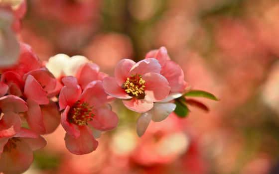 цветущая, красивые, размытом, обойный, fone, Сакура, cvety, страница, микс,