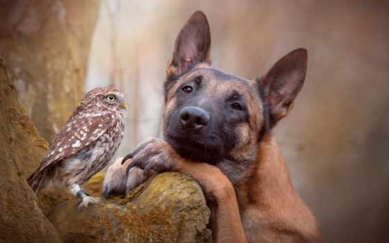 собака, friends, сова, ingo, овчарка, дружба, между, ан,