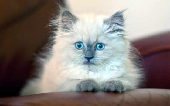 кот, пушистый, красивый, diamond, котенок, white, голубоглазый, картинка, вышивка, square, совершенно