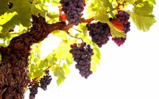 лоза, виноград, листья, гроздь, кисть, картинка, природа,