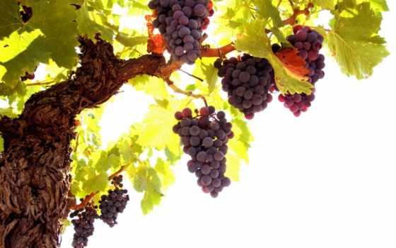 лоза, виноград