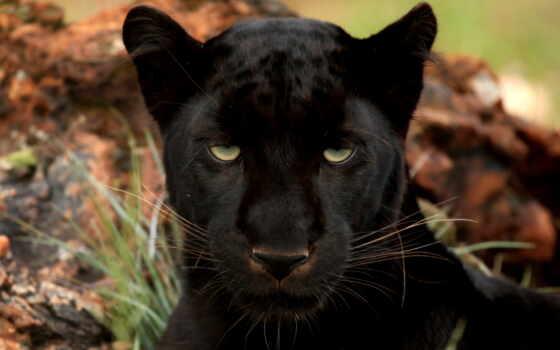 black, леопард, пантера, большая, глаза, кот, леопарды, хищник, черная,