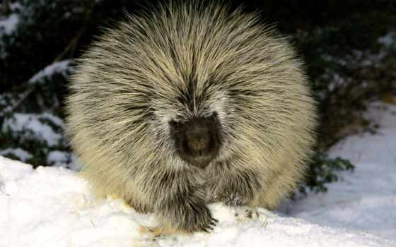 zhivotnye, porcupine, американский