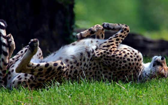 gepard, хищник, дикая,