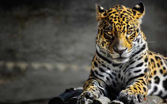 леопард, хищник, кот