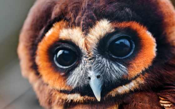 сова, птица, совёнок, хищник, страница, цыпочка, zhivotnye,