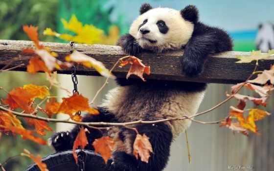 панда, медведь, art, apofiss, листва, красная, desktop, ipad,