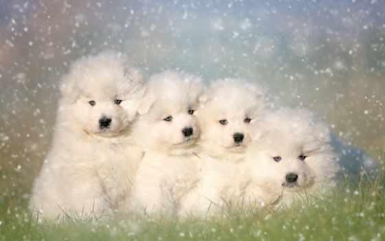 samoyed, собака, собаки, puzzle, tapety, desktop,