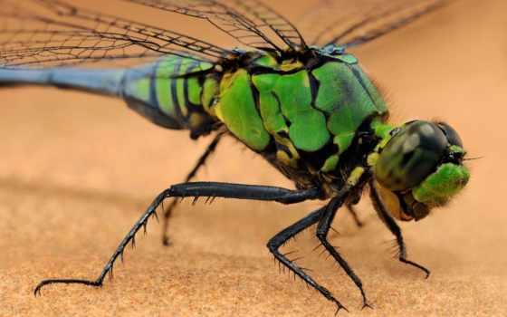 стрекоза, насекомое, макро, крылья, морда, свет, лапки, насекомые, стрекозы, паука, зелёная,