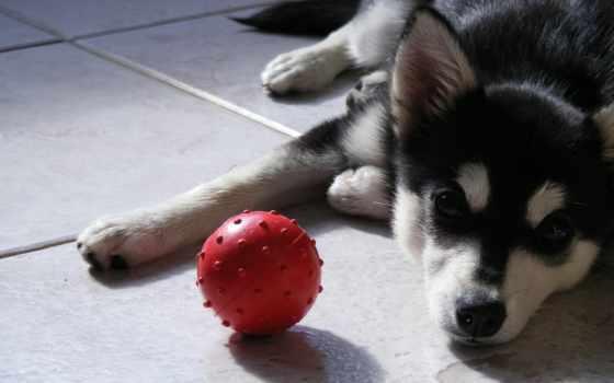 хаски, яndex, собаки, собак, daler, собака, коллекция, кашля, коллекциях,