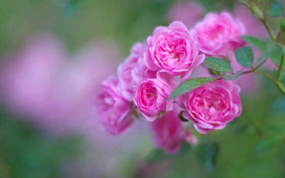 роза, цветы, розовый, garden, bush, бутон, leaf, branch, зелёный, яркий, размытость