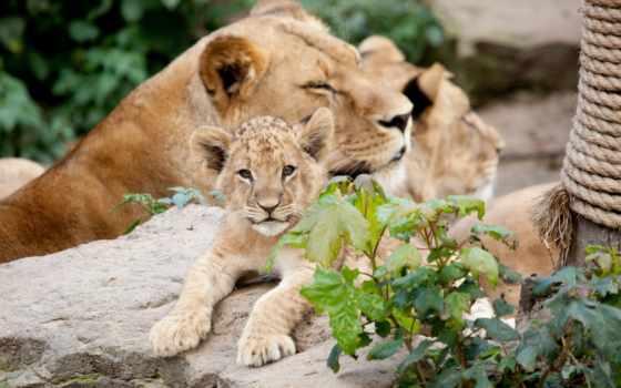 животные, lion, детёныш