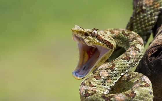 snake, ухмылка, взгляд