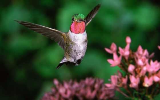 колибри, анфас, птицы