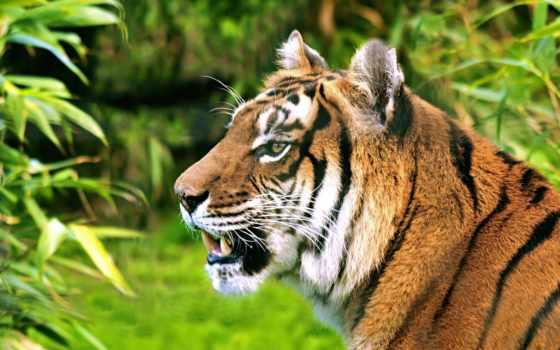 pantalla, fondos, tigre