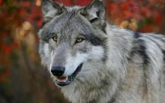 волка, волки, волк, яndex, zhivotnye, вышивки, схема, крутые,