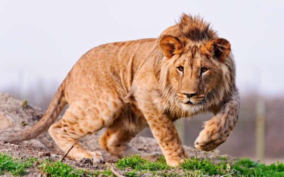 lion, животных