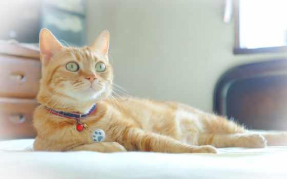 кот, red, white, морда,