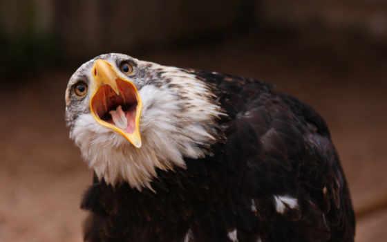 орлан, птица, клюв Фон № 86948 разрешение 3500x2312