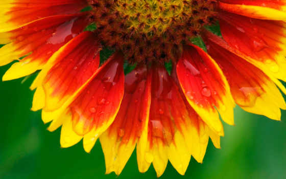 цветы, подсолнух, flowers
