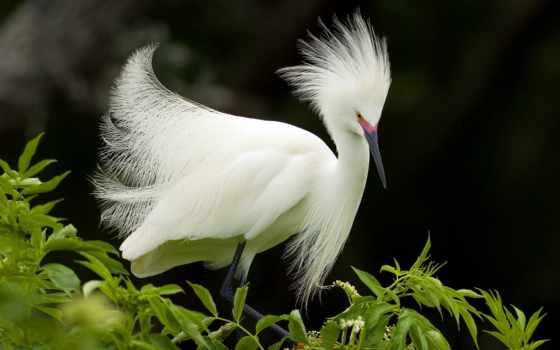 egret, snowy, разведение